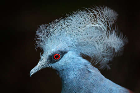 Western crowned pigeon, Goura cristata, detail portrait in e lowland rainforests of New Guinea, Asia. Blue bird with red eye, dark forest in the background, close-up. Wildlife scene from nature. Reklamní fotografie