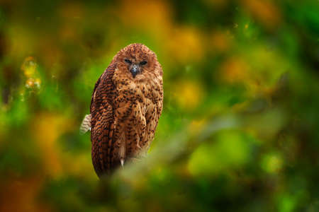Pel's fishing owl, Scotopelia peli, beautiful bird in the forest tree habitat, Okavango delta, Moremi, Botswana in Africa. Big brown owl hidden in the green vegetation, wildlife scene from nature. Reklamní fotografie