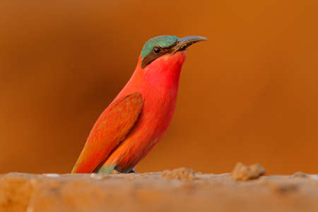 Carmine Bee-eater, Merops nubicoides, Zambezi, Mana Pools NP, Zimbabwe in Africa. Wildlife scene from Africa. Portrait of pink red bee-eater in the sand habitat. Widlife scene from nature.