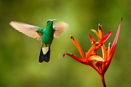 White-vented plumeleteer, Chalybura buffonii, green hummingbird from Colombia, green bird flying next to beautiful red flower, action feeding scene in green tropical forest, animal in the nature habitat.