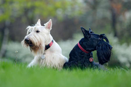Black and white dog. Beautiful scottish terriers, sitting on green grass lawn, forest in the background, Scotland, United Kingdom. Pair of black and white animals in the garden. Reklamní fotografie