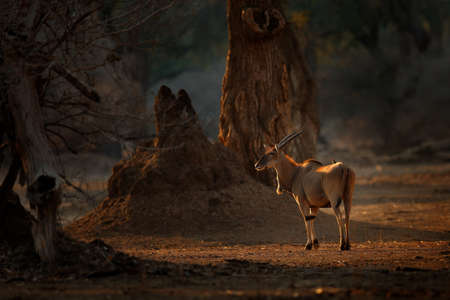 Eland anthelope, Taurotragus oryx, big brown African mammal in nature habitat. Eland in green vegetation, Kruger National Park, South Africa. Wildlife scene from nature, evening sunset. Reklamní fotografie