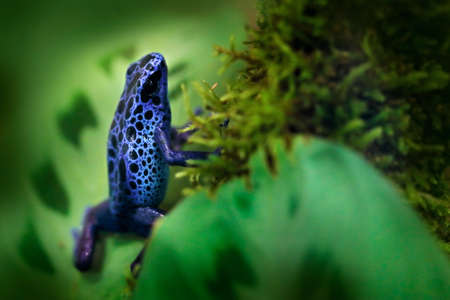 Dendrobates tinctorius 'True Sipaliwini', Dyeing Poison Dart Frog, blue frog in tropical nature. Wildlife scene from Brazil. Venomous toxic amphibian on the green moss. Exotic animal in the jungle. Reklamní fotografie