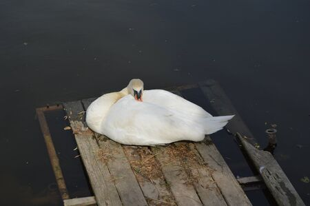 resting: Swan resting on a pier Stock Photo