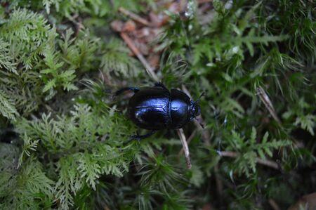 black: Black beetle