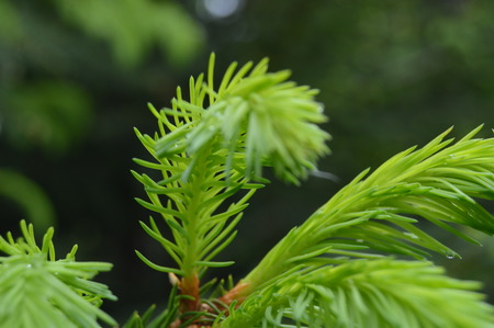 twig: Conifer twig