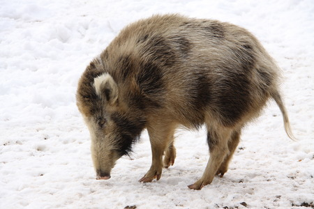 grunter: Single wild pig on the snowy  courtyard