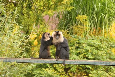 mane: Two black monkeys with lion mane
