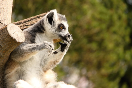 brown  eyed: Brown eyed lemur holding its snout by the hand