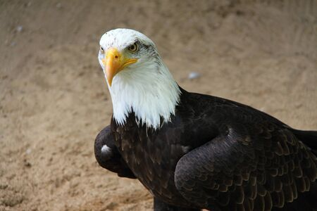 sitting on the ground: Eagle sitting on the sandy ground
