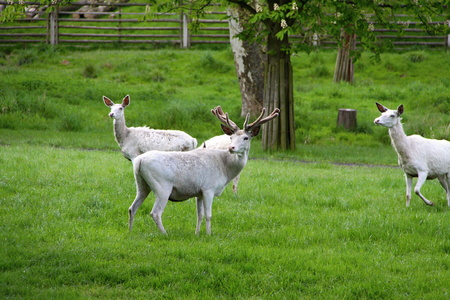 herd of deer: Herd of white deer