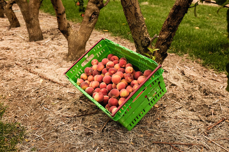 Nectarines are now picked at the New Zealand orchard, getting ready for selling across the World.