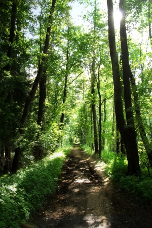 woodland scenery: Sunlight in the green forest, summer time Stock Photo