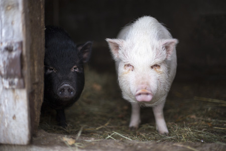Portrait of two small Vietnamese pigs black and white color photo