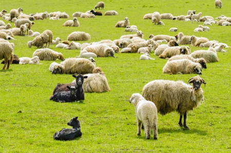 Flock of sheep grazing in the mountains