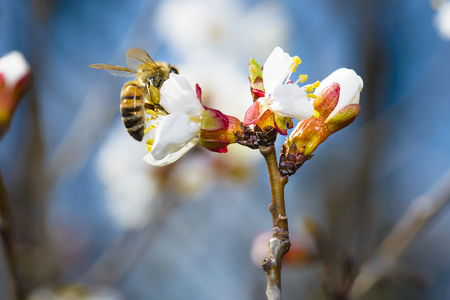 buzz: Spring flowers on an apricot orchard tree with a bee on it Stock Photo