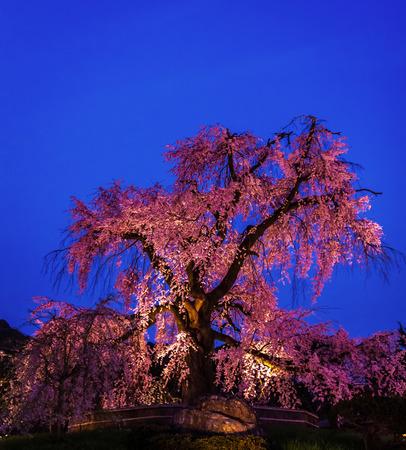 illuminated: Illuminated cherry bloosom