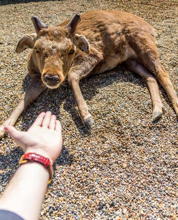 domestication: deer