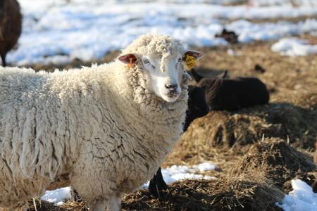 Pulito pecore bianche Archivio Fotografico - 26027328