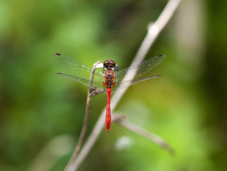 A close up picture of a red dragonfly photo