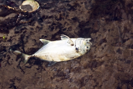 Close up picture of a dead fish in the water Stock Photo - 18282148