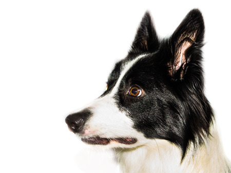 miniature collie: border collie staring