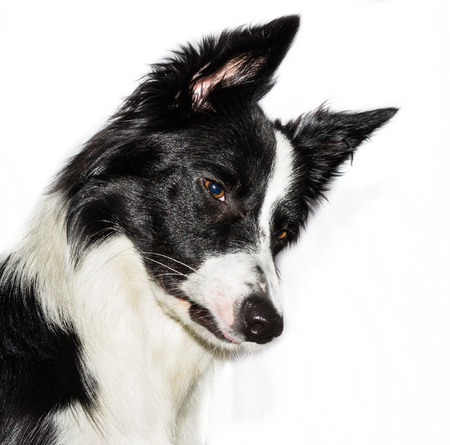 miniature collie: border collie side view Stock Photo