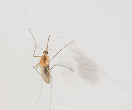 culicidae: mosquito close up