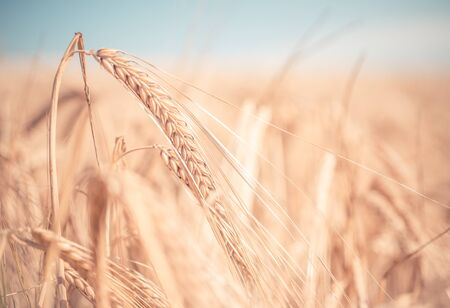 concep: close up on wheat ears in a field. concep about agriculture, nature and seasons