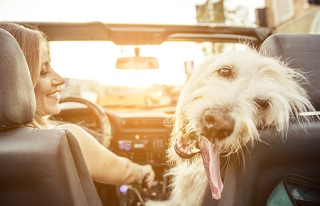 funny movies: Woman and her labradoodle dog driving with the car. concept about animals Stock Photo