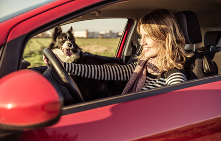 animal border: Happy woman driving the car with her border collie dog Stock Photo