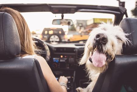 おかしい犬の飼い主のコンバーチブル車の運転 写真素材