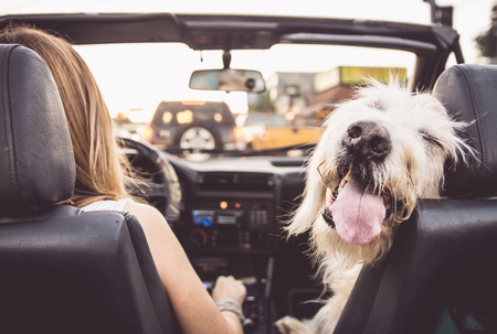 Funny dog driving with his owner on a convertible car