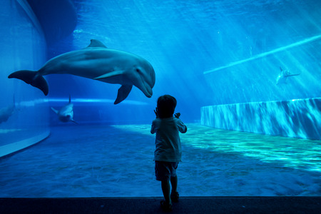Young kid looking at doplhins swimming in an aquarium Stock Photo - 90575135