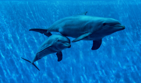 Family of dolphins swimming in blue water