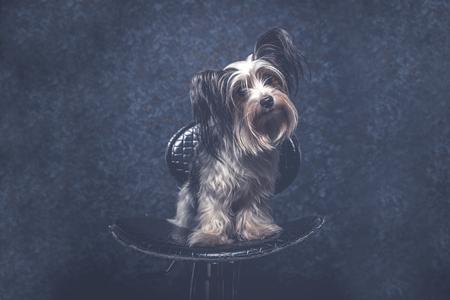Biewer dog portrait in studio Stock Photo