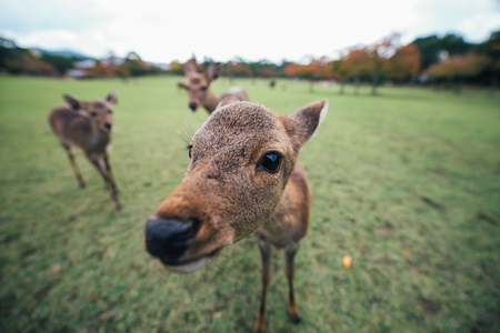 Deers and animals in Nara park, kyoto, Japan Stock Photo
