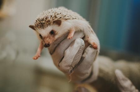 Little hedgehog portrait Stok Fotoğraf
