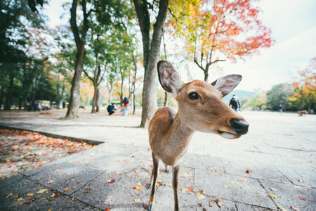 Deers and animals in Nara park, kyoto, Japan Banco de Imagens