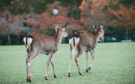 Rotwild und Tiere in Nara-Park, Kyoto, Japan