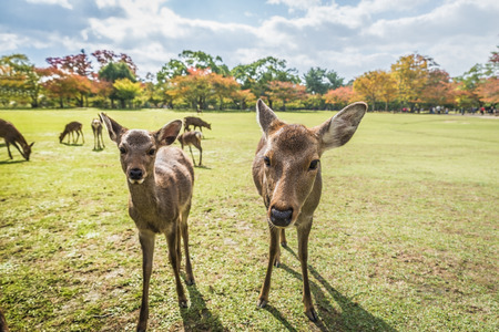 Deers at Nara park in Japan