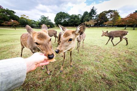 Deers at Nara park in Japan Banque d'images - 101188754