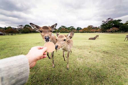 Deers at Nara park in Japan