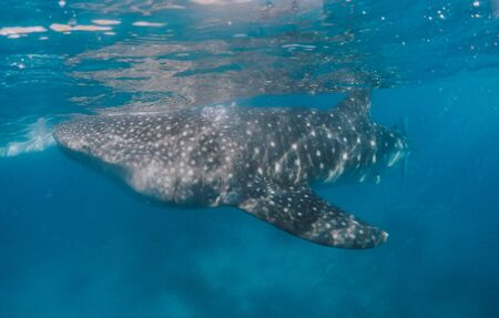 Giant whale sharks in Cebu, philippines. Swimming with these big marine animals underwater. shot with action camera under water