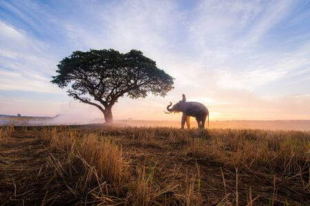 Elephant in asian countryside at sunrise, Thailand