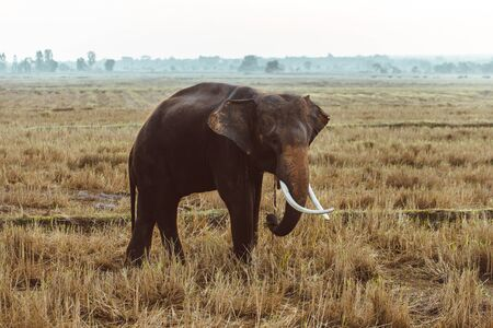 Elephant in asian countryside at sunrise, Thailand - Thai elephant in Surin region Stock fotó