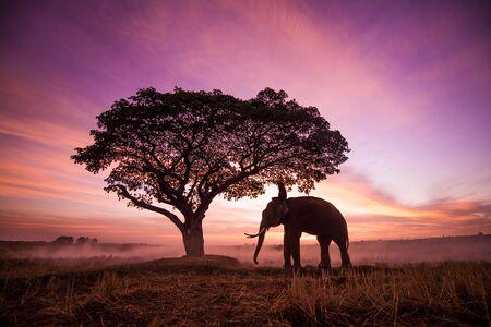 Elephant in asian countryside at sunrise, Thailand - Thai elephant in Surin region