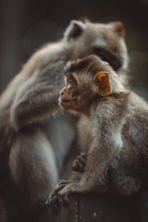 Porträt eines erwachsenen Affen im Affenwald, Ubud, Bali, Indonesien