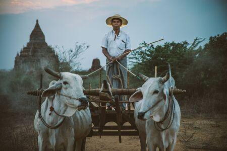 Farmer driving his cart with cows in Bagan, Myanmar