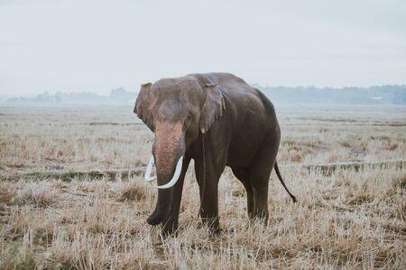 Indian elephant employed in the farming Stock Photo